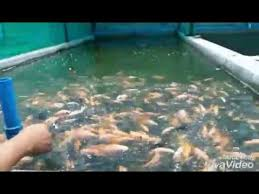 Red Tilapia Culture