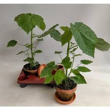 zimmerlinde 40 cm sparmannia africana zimmerpflanze