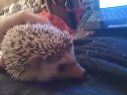 Porcupine Eating Pumpkin Gif by Can I See Your Pet S Askreddit