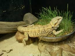 Improper Shedding Bearded Dragon by Bearded Dragon Care