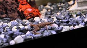 Do Aquatic Dwarf Frogs Shed Their Skin by Frog Shedding His Skin Youtube