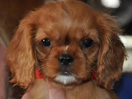 Miniature Dog Breeds That Dont Shed by Our Dogs Life In The Dog House