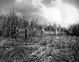 Associated Press International News Cuba CUBA HAVANA SUGAR CANE FIELD