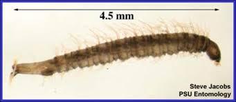 moth flies or drain flies msu plant and pest diagnostic services