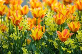 a striking border idea with tulip cape cod daffodil