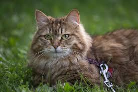 Siberian Cat Hair Shedding by Siberian Cat Rescue