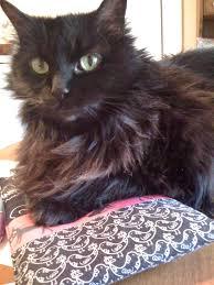 fatty liver cats cleo s progress
