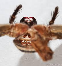 Decorator Crab Tank Mates by Little Monsters Part 37 Ii Huntsman Spider Exoskeleton U2014 Steemit