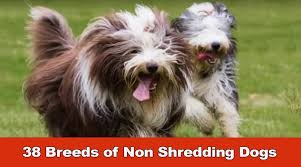 Non Shedding Small Dogs Australia by 38 Breeds Of Non Shredding Dogs Youtube