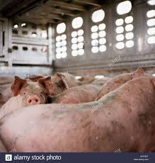 Pigs In Truck Stock Photo: 43982816 - Alamy Toms Bbq Pig Rig Phoenix Food Trucks Roaming Hunger Our Second Food Truck Is Complete The Red Truffle A High Farmer John Pig Transport From Colorado To California 3104 Benjamin Radigan Elegant Truck Transport Semi Trailer Suppliers And Out Pigouttruckiowa Twitter Hauling Thousands Of Pigs Overturns On I40 Blocking Lanes Dog 96000 Prestige Custom Manufacturer Proper Smokehouse Inspired By Owners Vacation Pig Food Truck Its Seattle I Must Go Jolly Baltimore Sun