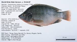 What Is Tilapia Fish Images Lobster And