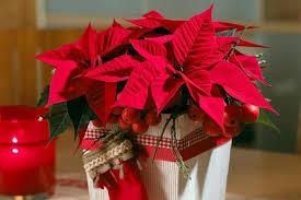 freizeit winterklassiker aus mexiko der weihnachtsstern
