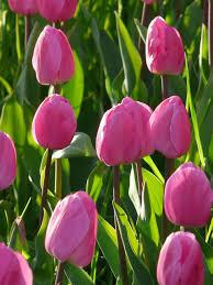 flyer tulip bulbs bulk buy