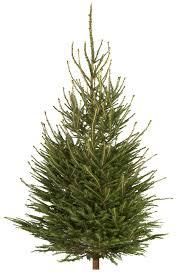 6ft Pre Lit Christmas Tree Bq by Medium Norway Spruce Cut Christmas Tree Departments Diy At B U0026q