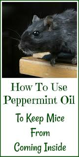 25+ Unique Peppermint Oil Mice Ideas On Pinterest   Diy Mice ... Mice How To Identity And Get Rid Of In The Garden Home Rats Guaranteed 4 Easy Steps Youtube Does Peppermint Oil Repel Yes Best 25 Getting Rid Rats Ideas On Pinterest 8 Questions Answers About Deer Hantavirus Mouse Control To Of In The Keep Away From Bird Feeders Walls 2 Quick Ways That Work Get Rid Of Rats Using This 3 Home Methods Naturally Dangers Rat Poison Dr Axe Out Your Without Killing Them