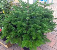 Balsam Christmas Trees Uk by Recycling Real Christmas Trees Simpsons Garden Centre