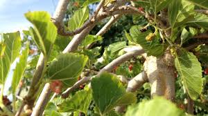 Weeping Mulberry Tree 2