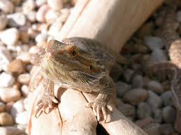 Bearded Dragon Shedding Process by 20 Different Types Of Bearded Dragons With Colors Species And