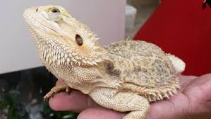 Bearded Dragon Shedding Process by 100 Bearded Dragon Shedding Help Early Tail Rot U2022