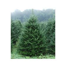 Fraser Christmas Tree Care fraser fir 3 potted plants in 2 5 pot christmas tree