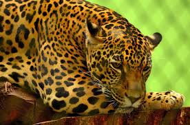 Free photo Jaguar Big Cat Carnivore Feline Free Image on