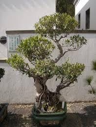 pot bonsai grande taille bonsaï création fiche d entretien du ficus ficus microcarpa