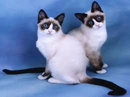 snowshoe cat snow shoe cat breed info history personality care kittens