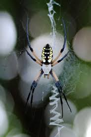 MObugs: Black & Yellow Garden Spider R2rustys Chatter September 2017 Ladybugs Backyard And Beyond Birdingand Nature Golden Silk Orb Weaver Spider In Bug Eric Sunday Black Yellow Argiope Glass Beetle By Falk Bauer A Backyard Naturalistinsects Ghost Spiders Family Anyphnidae Spidersrule C2c_wiki_silvgarnspider_hrw8q0m1465244105jpg Aurantia Wikipedia Two Views Sonoran Images Elephant Tiger Skin Spiny Blackandyellow Garden Mdc Discover Power Animal For October Shaman Amy Katz