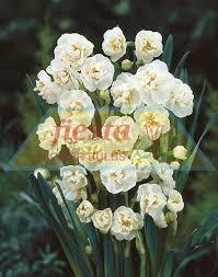 bridal crown daffodils bulbs flower bulbs bulb