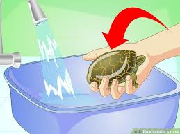 how to bathe a turtle with pictures wikihow