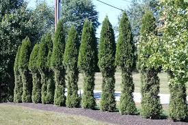 Christmas Tree Saplings For Sale Ireland by Any Good Evergreen Trees That Deer Won U0027t Eat Gardening Q U0026a With