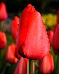tulip bulbs dutchgrown皰 wholesale flower bulbs