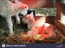 Two White Lambs Under Heat Lamp In Barn Of Organic Farm In Holland ... 37 Best Goats Images On Pinterest Goat Shelter Farm Animals Clipart Bnyard Animals In A Barn Royalty Free Vector 927 Campagne Ferme Country Living All Men Are Enemiesall Comradesall Equal Pioneer George Washingtons Mount Vernon Nature Trees Fences Birds Fog Mist Deer Barn Farm Competion Farmer Bens Hog Blog Stories Of And Family Stock Horse Designs Learn Names Sounds Vegetables With Jobis Animal Inside Another Idea To Do It Without The Mezzanine But Milking Cows The Cow Milk Dairy Cowshed Video Maine Archives Flavorful Journeys