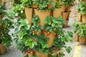 Tips For Growing Strawberries Green