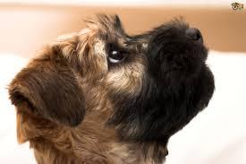 soft coated wheaten terrier hereditary health and longevity