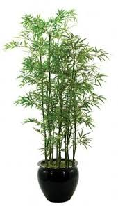 planting bamboo in a pot black bamboo black bamboo houseplant and plants
