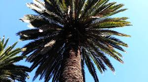 Christmas Tree Cataract by Phoenix Canariensis Canary Island Date Palm Tree Hd 01 Youtube