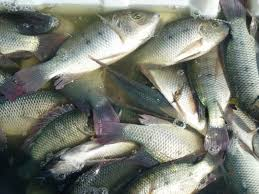 Tilapia | Steve Grey's Travels Backyard Tilapia Fish Farm August 192011 Update Youtube Fish Farming How To Make It Profitable For Small Families Checking Size Backyard Catfish To Start A Homestead Or Commercial Tilapia In Earthen Pond 2017 Part 1 Preparation And Views Of Wai Opae Tide Pools From Every Roo Vrbo Sustainable Dig Raise Bangkhookers Fishing Thailand An Affordable Arapaima In Your Home Worldwide Aquaponics Garden Table Rmbdesign Guide Building A Growing Farm Sale Farming Pinterest
