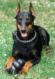 Do Miniature Pinschers Shed by The Doberman Pinscher Or Simply Doberman Is A Breed Of Domestic