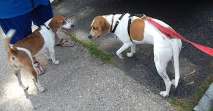 Do Redbone Coonhounds Shed by Long Ears Blog Coonhound U0026 Foxhound Companions