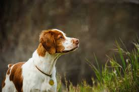 what is the best dog food for a brittany