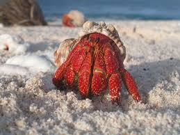 Do Hermit Crabs Shed Shell by 12 Best Animals Hermit Crabs Images On Pinterest Hermit Crabs