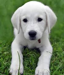 Low Shed Dog Breeds by White Dog Breeds