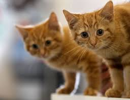 signs of worms in cats the signs symptoms treatment of roundworms in cats
