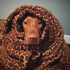 Do Vizsla Dogs Shed by Vizsla Information Moonlight Vizslas