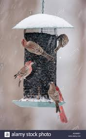 House Finches Stock Photos & House Finches Stock Images - Alamy Backyard Bird Watching House Finch Nest 5 Weeks Complete Feeding Finches Graycrowned Rosyfinch Audubon Field Guide Free Images Nature Wilderness Branch Seed Animal Summer At Feeder Stock Photo Image 82153967 How To Offer Nyjer Birds Birding Two Great Books For Those Who Enjoy Pet Upside Down Wild Tube Essentials Triple Supoceras Ornithology Finch Breeding Attract Goldfinches Your Dgarden Sfv Idenfication San Fernando Valley Society
