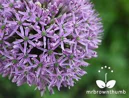 how to collect allium seeds mrbrownthumb