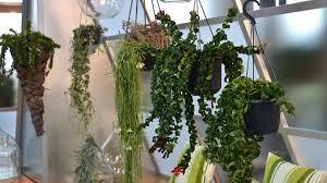 hängende pflanzen dschungel auf der fensterbank mdr de