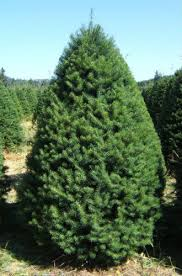 Christmas Trees Types by Christmas Tree Types Available At Big Wave Dave U0027s