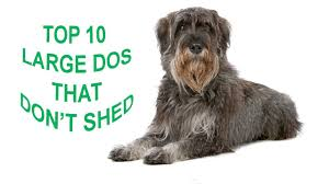 Dog Breeds That Dont Shed by Dog Breeds With Pictures And Price Top 10 Large Dog Breeds That